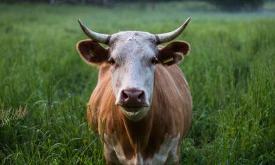 Brazen II: I Am Not Your Cow