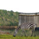"""Conservation Vs """"Development""""? The Political Ecology of the Stiegler's Gorge Dam and the Selous Game Reserve"""